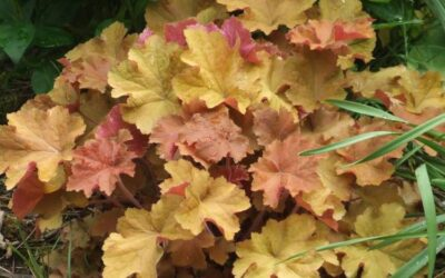 Heuchchera 'Caramel'  (Coral Bells)